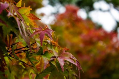 Day 6 - Autumn colours at Nijo Castle